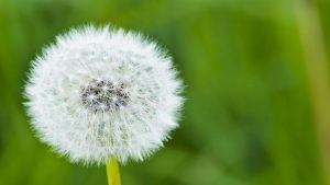 Dandelion, Dust, Natural