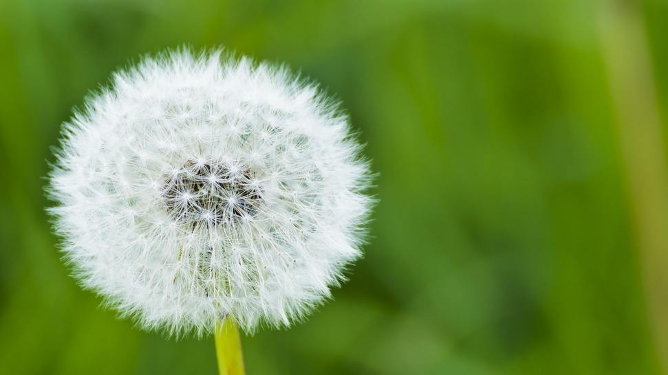 Dandelion, Dust, Natural